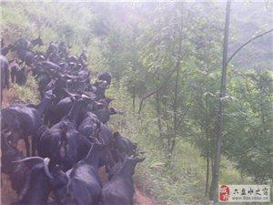 黑山羊生态养殖