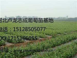 河北卢龙志成葡萄苗基地出售一年生多年生各品种葡萄苗