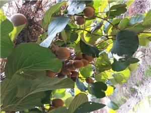 徐香獼猴桃