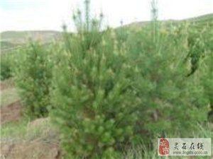 銷售綠化苗 刺槐 油松