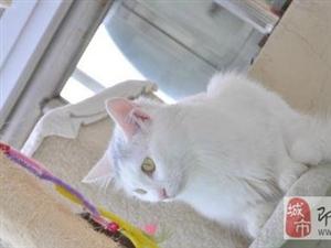 一只2岁白色母猫求领养