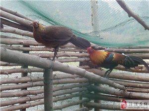 ,海南山鸡.