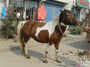 卖纯种云南矮马