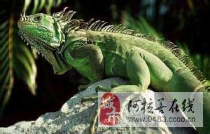 荤主义者−−绿鬣蜥