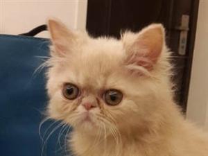澳门真人网上赌场转让一只可爱的加菲猫 - 2000元