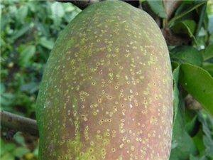 光皮木瓜,皱皮木瓜,木梨树苗,木瓜树苗,木瓜种子