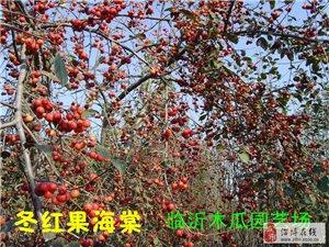 冬红果海棠苗木,西府海棠苗木,垂丝海棠苗木