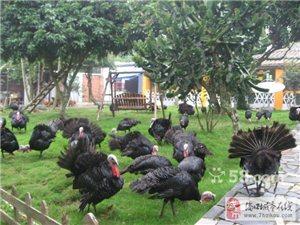 30对9月大的法国贝蒂娜种火鸡