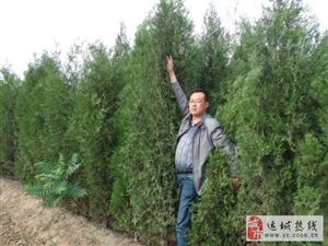 高度2.5米侧柏苗3米侧柏树定植苗