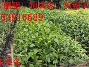 低价大量供应桂木苗、胭脂苗、狗果树苗、狗卵子树