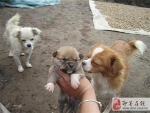 一共两窝非常的可爱的幼犬(有喜欢的朋友免费领养)