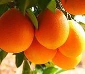 60畝臍橙種植基地出售