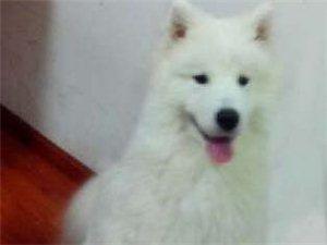 寻找在澳门威尼斯人网址前川光荣村附近丢失的萨摩耶狗狗