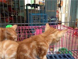 多只蝴蝶猫出售