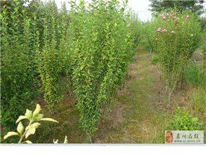 大量出售木槿樹苗