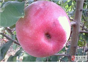 出售寒富苹果