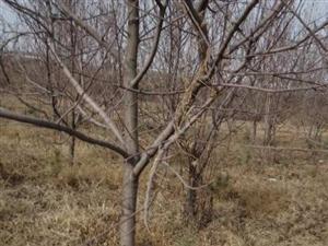 5公分苹果树6公分杏树7公分李子树8公分山楂树