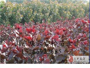 全紅楊種植基地