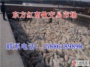 育肥羊交易市场