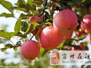 【砀山红富士苹果大量供应】