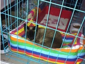一年大暹罗猫