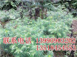 出售優質杉木苗