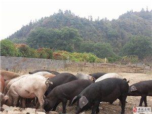 澳门大发游戏网站张湾生态土猪——绿色生态散养、精品瘦肉猪有售!