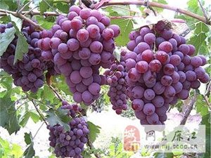 麻江縣老土葡萄觀光園大量供應紅提葡萄,歡迎選購!