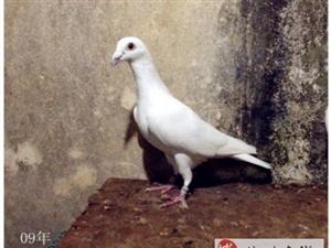 出售一对极品白鸽