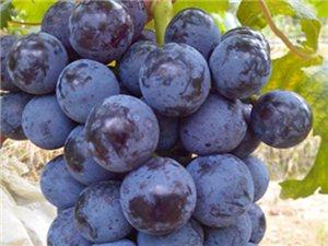 麻江縣老土葡萄觀光園大量供應黑提葡萄,歡迎選購!