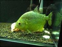 出售黄钻水虎鱼 食人鱼