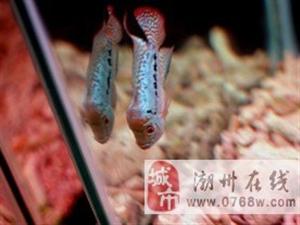 出售罗汉一条泰金罗汉鱼泰国进口罗汉鱼300元 满身亮片