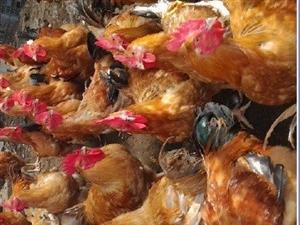 卖家鸡  自家鸡每只8 -9斤  一 斤16元