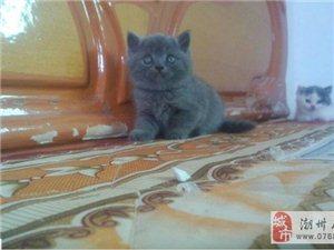 英国短毛猫纯蓝
