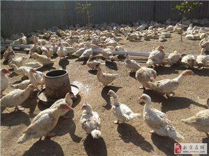 出售鴛鴦老鴨