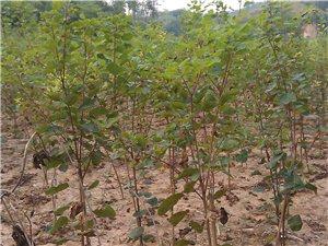 青州市惠民果樹苗木專業合作社供名優特稀苗木