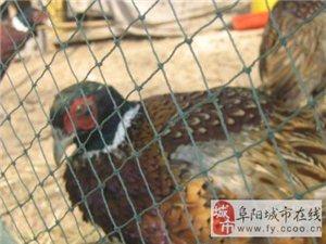 川飞山鸡生态养殖场