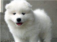 出售泰迪博美金毛萨摩等各种幼犬800起