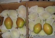 陜西香梨價格(庫爾勒香梨價格)陜西貢梨基地(碭山酥