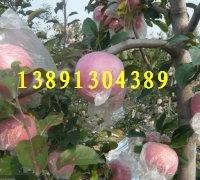 陜西膜袋紅富士蘋果價格紅富士蘋果價格