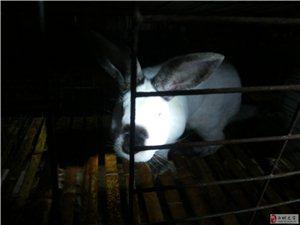 優良種兔、燒烤用兔、白條兔肉、技術咨詢