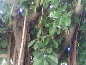 橡皮树出售