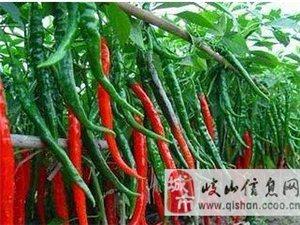 销售线辣椒种子洋葱种子种苗-60元