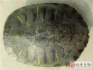 出外塘巴西种龟数只