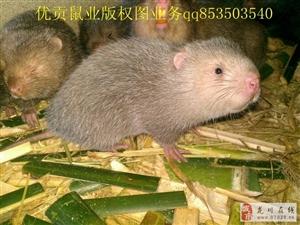 出售竹鼠种苗豚鼠,可做宠物