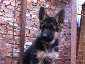 出售德国牧羊犬 头版出众 血统优良 威猛健壮结实