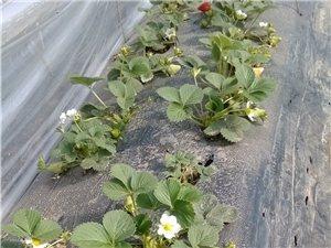 出售大棚新鲜草莓