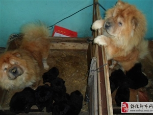 出卖两只肉嘴松狮成年母狗
