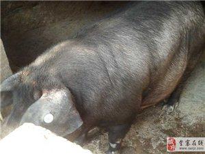 桃岭家养黑毛猪出售