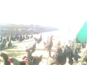家养芦花鸡销售